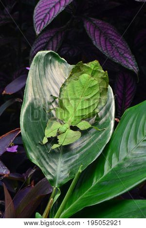 A giant leaf insect arrives in the  gardens and settles on a plant leaf.