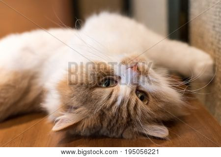 Cute ragdoll cat lying and stretching on its back