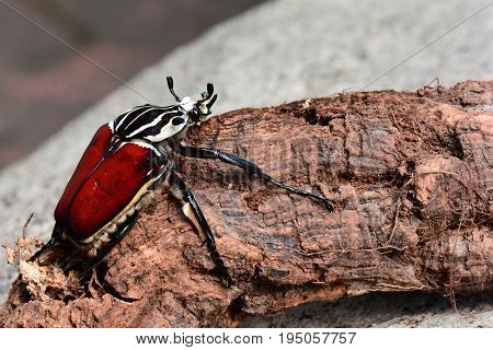 A giant Goliath beetle sits on a log in its environment.