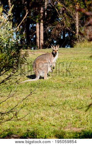 Australian Female Wallaby With Joey In Pouch Standing In Grassy Field