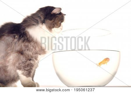 Side view of a cat looking at goldfish in a fishbowl against white background