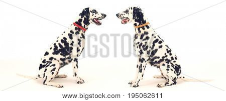 Side view of two Dalmatians sitting face to face against white background