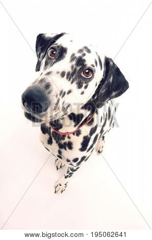 Elevated portrait view of a Dalmatian against white background