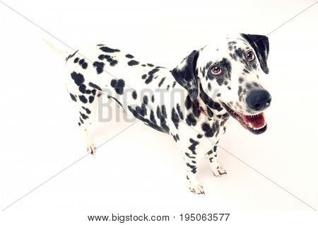 Elevated view of a Dalmatian looking up with mouth open against white background