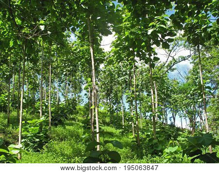 Teak trees in an agricultural forest, Costa Rica, Central America