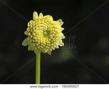 Yellow Lemon Zing Dahlias
