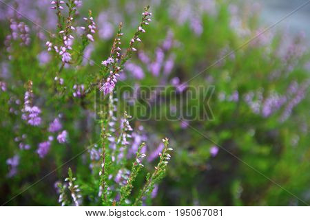 Flowering Heather Plant