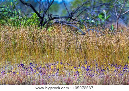 Utricularia delphinoides Thor.ex Pell. flower beautiful and dry tree at Mukdahan Nation Park Thailand