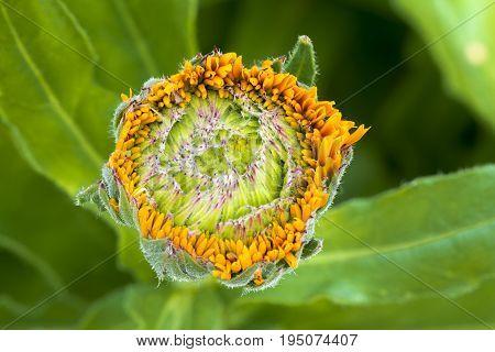 Infant Budding Calendula Officinalis - Greenheart Orange / Pot Marigold