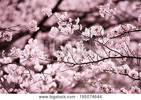 Cherry blossom in full bloom. Somei yoshino cherry (Prunus × yedoensis). Shallow depth of field.