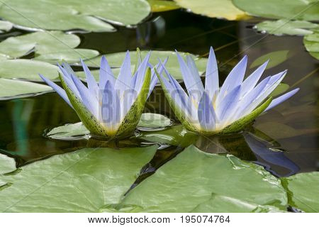 Blue Lotus Of Egypt, Nymphaea Caerulea Waterlilies