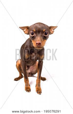 Russian toy terrier male puppy (9 m.o.) over white background
