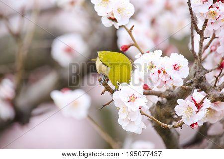 Japanese White-eye bird on plum tree in OsakaJapan