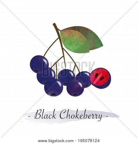 Colorful Watercolor Texture Vector Healthy Fruit Black Chokeberry Aronia Berry