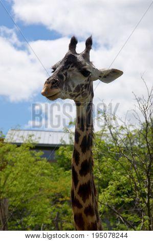 Tall Giraffe at zoo in Cincinnati Ohio