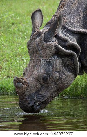 Indian rhinoceros (Rhinoceros unicornis). Wildlife animal.