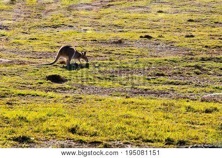 Australian Wallaby Feeding In Grassy Field