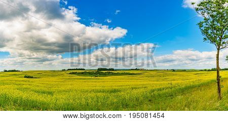 Panorama view of a rapeseed field on sunny summer day. Blossom canola or colza flowers against cloudscape