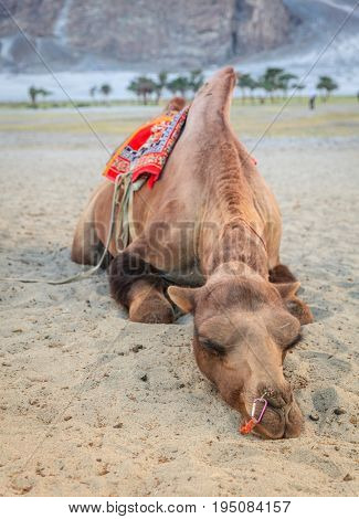 Camel is seeping in the sand in Nubra Valley in Ladakh, India