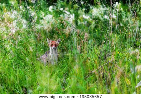 Portrait of fox staring at camera from green grass