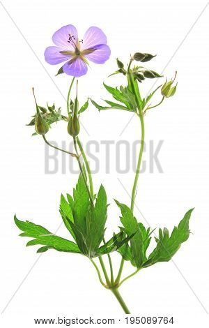 Meadow Cranesbill (Geranium pratense) flowering plant isolated against white background
