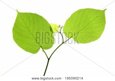 Linden leaves isolated against white background (Tilia)