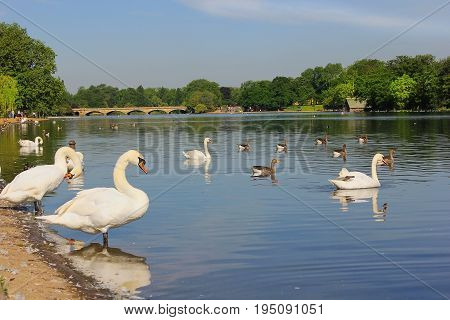 white swans and other waterfowl at Serpentine Lake, Hyde Park in London, UK