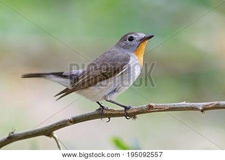Taiga Flycatcher Ficedula Parva Male Cute Birds Of Thailand