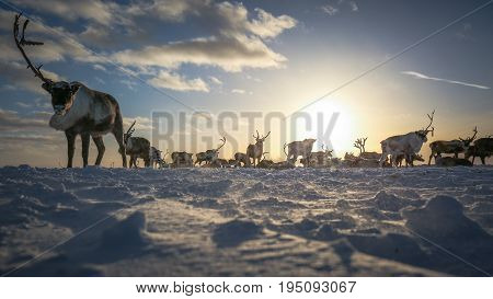 Deer in the tundra, on a sunny frosty day Russia