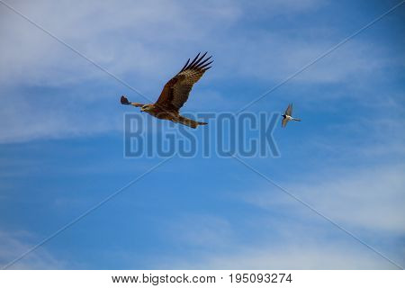 Falcon and swallow in the blue sky Russia