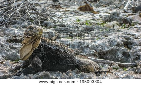 Iguana on the rocks, Carribean sea Cuba