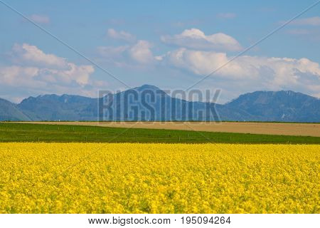 field of rapeseed with beautiful cloud - plant green energy