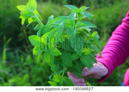 Mint in the garden. Drink of fresh mint. Healthy and wholesome food. Mint in hand. A bouquet of mint leaves