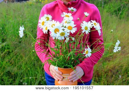 Chamomile flowers in womans hands. Daisies in the garden. Bouquet of daisies in hands. Chamomile in the clay jug