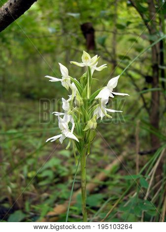 terrestrial orchid, Habenaria dentata orchid, whit orchid