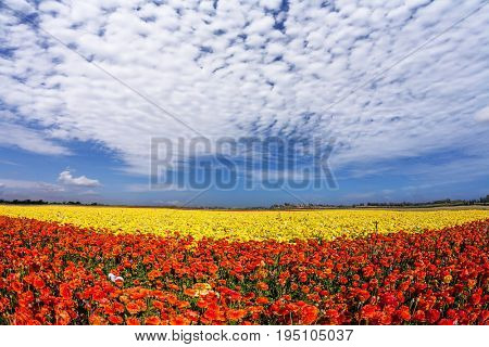 Light cirrus clouds portend a warm day. The magnificent blossoming fields of garden buttercups.  Concept of rural tourism and agrotourism