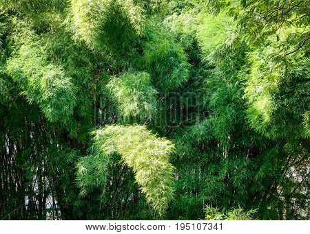Bamboo Grove At The City Park