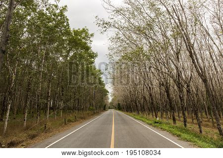 Road and Rubber tree hevea brasiliensis plant produce latex in shady plantation