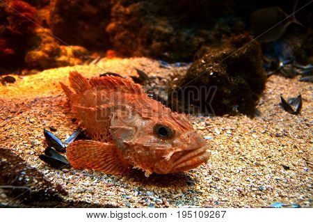 red scorpionfish (Scorpaena scrofa) lying on the seabed