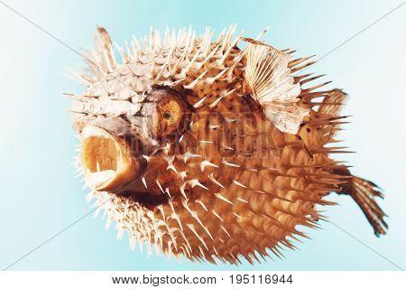Mounted Puffer Fish