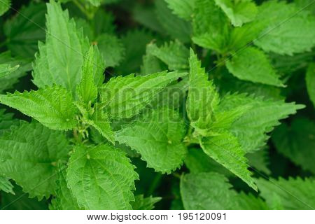 green stinging nettle (Urtica dioica) leaves background