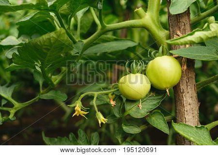 fresh organic green unripe tomato on plant - Solanum lycopersicum
