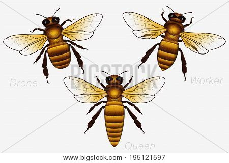 Set Of Three Honey Bees. Queen And Worker And Drone. Detailed Vector Illustration Isolated On White