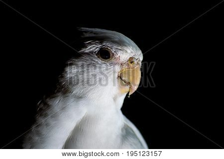 A pet cockatiel isolated against a dark black background