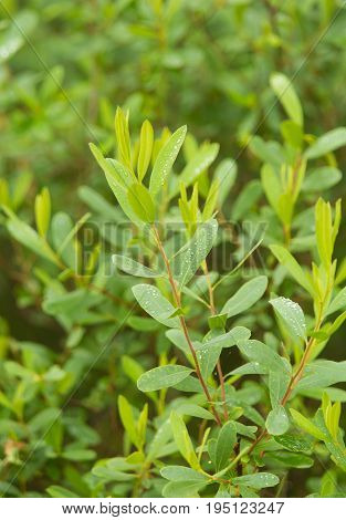 Beautiful fresh vibrant leaves of a bog myrtle after the rain. Shallow depth of field closeup macro photo.