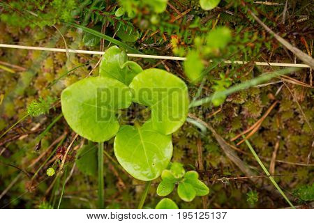 Beautiful vibrant green leaves on a forest floor after the rain in summer. Shallow depth of field closeup macro photo.