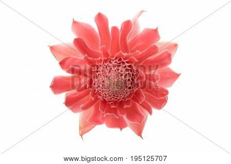 red torch ginger (Etlingera elatior) isolated on white background