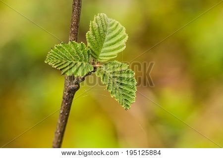 A beautiful vibrant alder tree leaves on a natural background after the rain in summer. Shallow depth of field closeup macro photo.