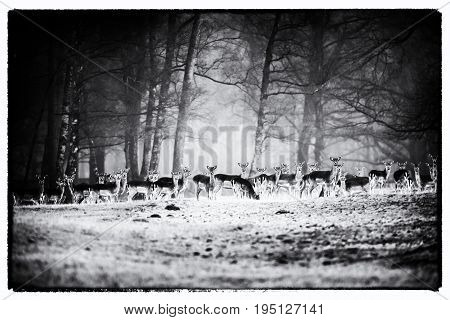 Vintage Black And White Photo Of Large Group Of Fallow Deer In A Row In Misty Forest Meadow.