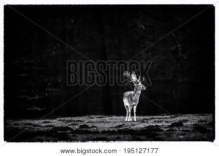Vintage Black And White Photo Of One Fallow Deer Buck In Meadow Of Forest.
